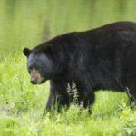 Hewan Beruang Teror Warga Desa Kota Baru