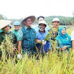 Bupati Bintan Bersama Kelompok Tani, Panen Raya Padi di Desa Toapaya