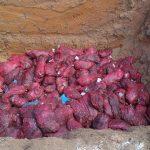 Alamak ! Bawang Tegahan Dimusnakan Dengan Cara Dikubur
