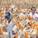 Jokowi Hadiri Panen Raya Jagung di Gorontalo