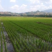 Meski Kemarau Petani Sawah di Kecamatan Asparaga Tetap Produktif